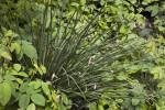 Chives Growing in Paul Revere's Garden