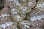 Chocolate Plant - New Leaf Growth