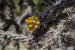 Cholla Fruit Close Up