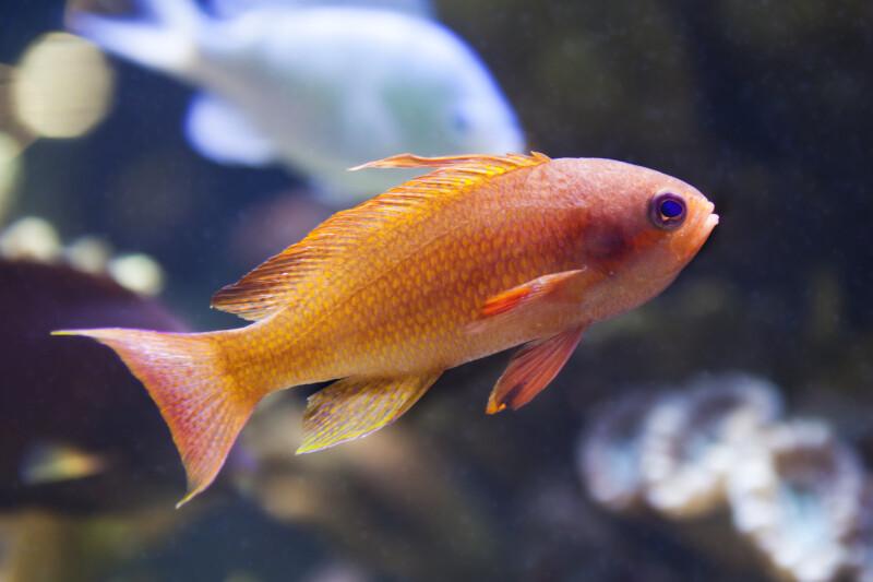 Cichlid with Reddish-Orange Coloring