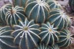 Circular Cactus