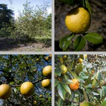 Citrus Trees photographs