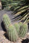 Claret Cup Cactus at Denver Botanic Gardens