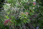 Cliff Bottlebrush Branches