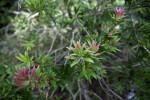 Cliff Bottlebrush Branches