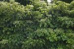Climbing Hydrangea at the Arnold Arboretum of Harvard University