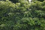 Climbing Hydrangea at the Arnold Arboretum of Harvard University