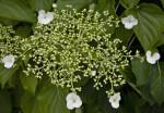 Climbing Hydrangea Buds and Flowers