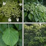 Climbing Hydrangeas photographs