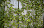Climbing Vine with Tiny Leaves