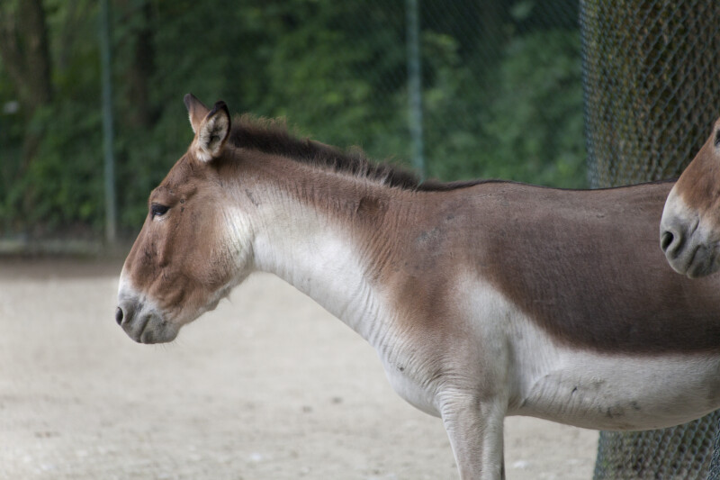 Close Up of a Kiang