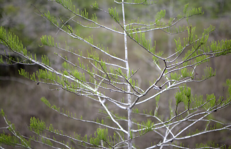 Close-Up of Bald Cypress Branches with Tiny Leaves