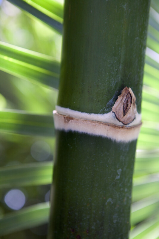 Close-Up of Bamboo (Guadua angustifolia)