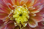 "Close-Up of ""Carmen"" Hybrid Dahlia"