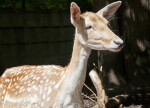 Close Up of Female Persian Fallow Deer