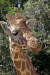 Close-Up of Giraffe with Tilted Head