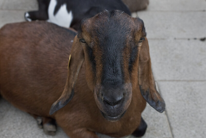 Close-Up of Goat Face