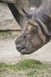 Close Up of Indian Rhinoceros Eating