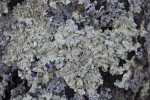 Close-Up of Lichens at Boyce Park