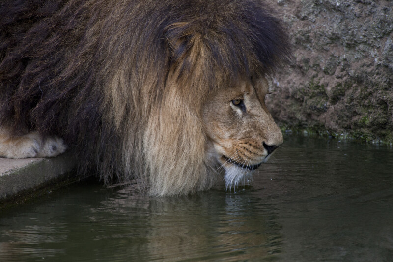 Close-Up of Lion Near Water