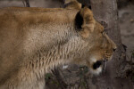 Close-Up of Lioness Looking to One Side
