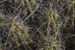 Close-Up of Long Cactus Thorns