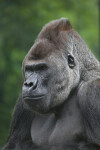 Close-up of Male Gorilla at the Artis Royal Zoo