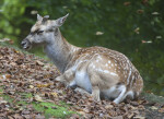 Close Up of Male Persian Fallow Deer