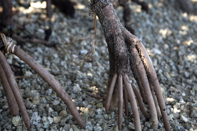 Close-Up of Mangrove Prop Roots