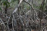 Close-Up of Mangrove Prop Roots