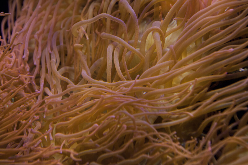 Close-Up of Sea Anemone Tentacles