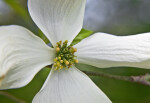 Close-Up of the Center of a Dogwood Flower