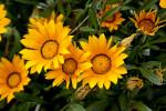 Close-Up of Yellow Flowers in Kusadasi, Turkey