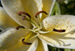 Close-Up of Yellow Lily Flower
