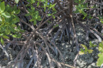 Close-Up Photo of Red Mangrove Roots