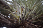 Close-Up Picture of Giant Airplant Leaves