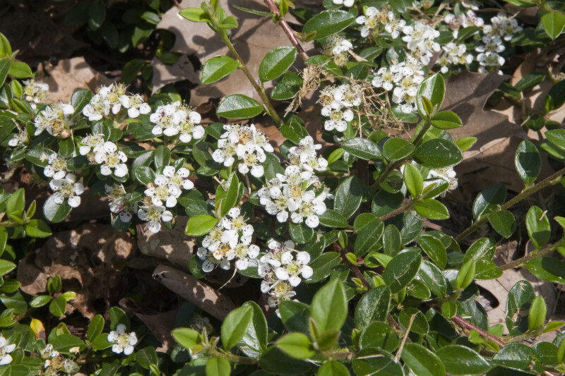 "Close-Up View of a Bearberry Cotoneaster ""Skogholm"""