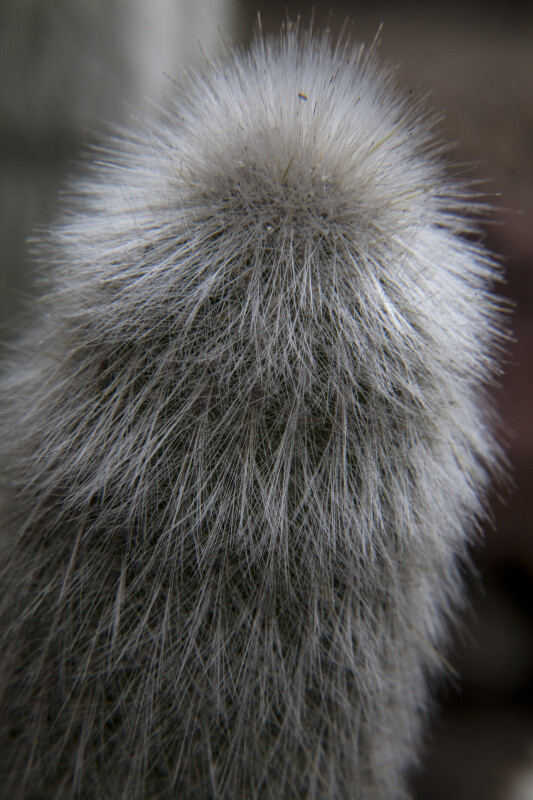 Close-Up View of a Cactus with Numerous White Hairs