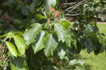 Close-Up View of a Sorbus yuana Tree
