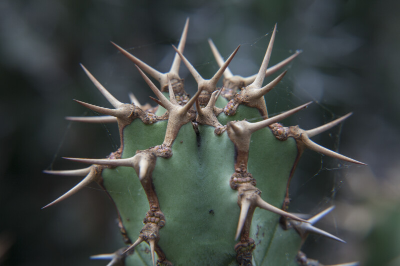Close-Up View of the Sharp Prickles of a Succulent Plant