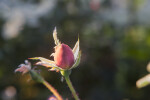 Closed Rose Bud