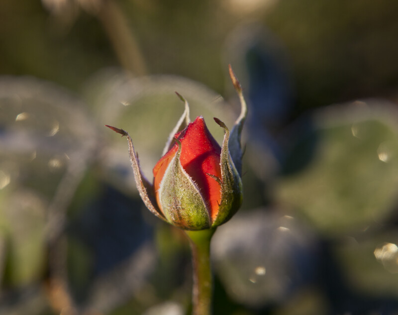 Closed Rose Flower Bud in Monroeville, PA
