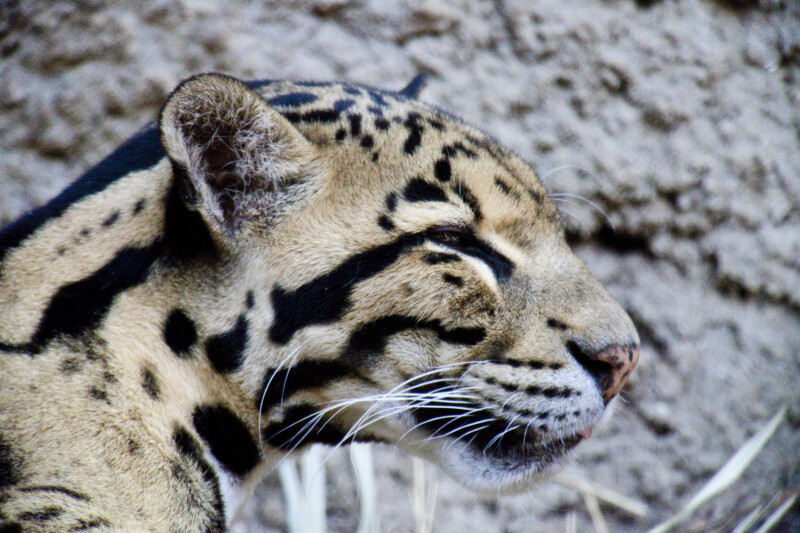 Clouded Leopard Squinting