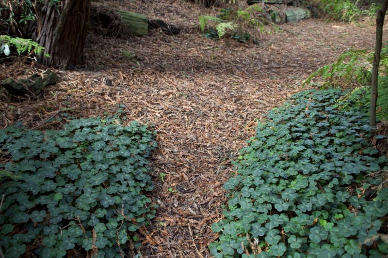 Clovers & Brown Redwood Leaves