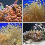 Clownfish photographs