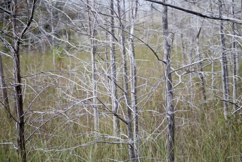 Clump of Dwarf Bald Cypresses