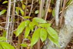 Clump of Lacewood Leaves