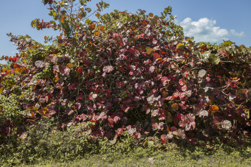 Clump of Sea Grape Trees