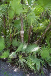 Clumping Palm (Paurotis Palm)