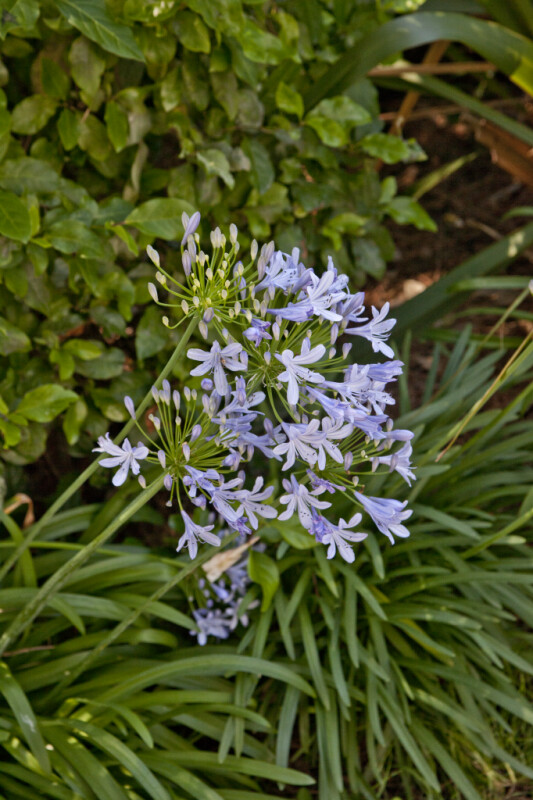 Cluster of Agapanthus Flowers at Capitol Park in Sacramento